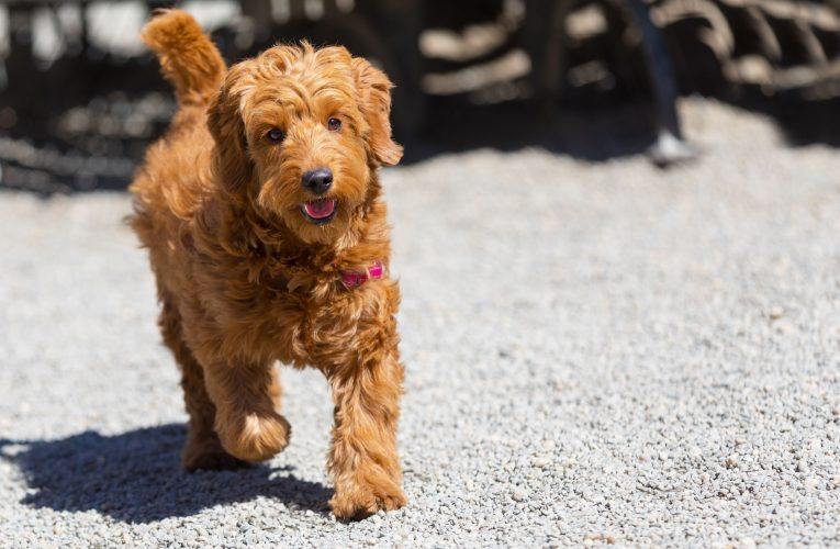 Red Goldendoodle Puppies for Sale – Some Major Aspects
